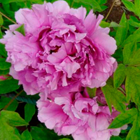 Fu Gui Man Tang Pink Beautiful Garden Chinese Tree Peony