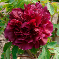 Mo Run Jue Lun Red Garden Chinese Peony Flower
