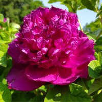 Shou An Hong Purple Charm Chinese Tree Peony Nursery