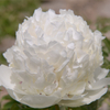 Tian Shan Xue Lian White Gorgeous Paeonia Rockii for Decoration