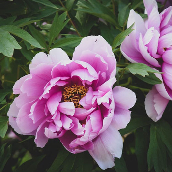 Can You Graft Peonies?