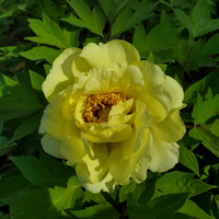 High Noon Yellow Fragrant Japanese Tree Peony