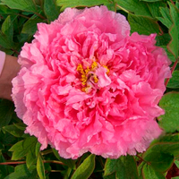 Rou Fu Rong Pink Beautiful Landscape Chinese Traditional Peony