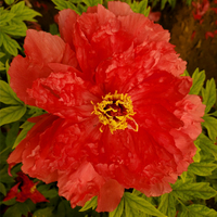 Xu Gang Rose Garden Decor Japanese Peony Plant