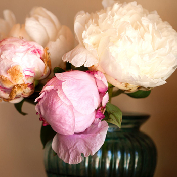 How Should Peonies Be Planted in a Pot?