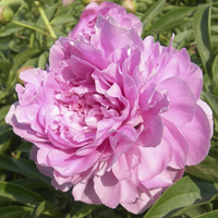 Tao Hua Fei Xue Pink Beautiful Balcony Herbaceous Peony Varieties