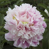 Fen Chi Di Cui Pink Beautiful Park Intersectional Peonies