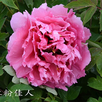 Hong Fen Jia Ren Pink Graceful Park Tree Paeonia Suffruticosa