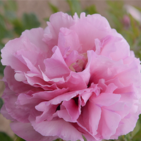 Tao Hua Zhuang Yuan Pink Charming Nursery Mountain Tree Peony