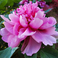 Cai Hui Pink Beautiful Garden Chinese Traditional Peony