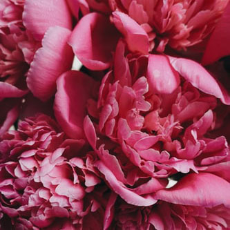Inter-Sectional Hybrids in Peony