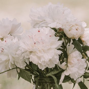 What is the Difference Between Herbaceous Peonies and Tree Peonies?