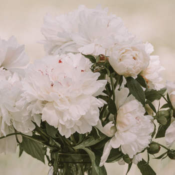 How to Prune a Tree Peony?