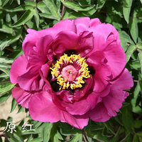 Long Yuan Hong Red Precious Backyard Mountain Tree Peony
