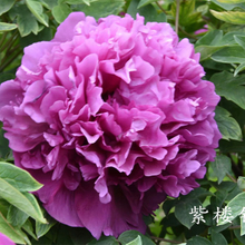 Zi Lou Cha Cui Purple Delighful Park Mountain Tree Peony