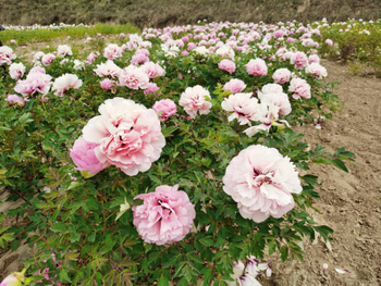 Best Time to Plant Big Tree Peony