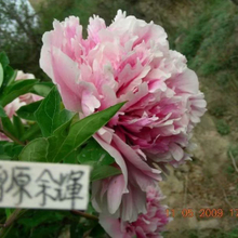 Xue Yuan Yu Hui Pink Charming Backyard Tree Peony Bare Root