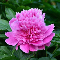 Shuang Hong Lou Blue Elegant Backyard Intersectional Peonies