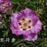Shi Li He Xiang Multi-Clour Elegant Backyard Full Grown Tree Peony