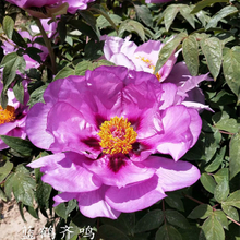 Lan He Qi Ming Blue Charming Park Tree Paeonia Suffruticosa