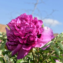 Qing Chun Red Precious Garden Tree Peony Suffruticosa