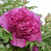 Mei Gui Xiang Red Precious Garden Full Grown Tree Peony