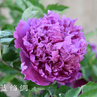 Lan Zhou Chou Blue Charming Garden Tree Peony Suffruticosa