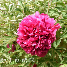 He Ping Hong Xiu Qiu Red Pretty Garden Full Grown Tree Peony